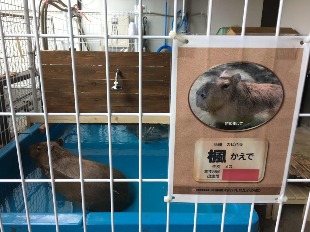 大江戸温泉物語箕面観光ホテルのカピバラ