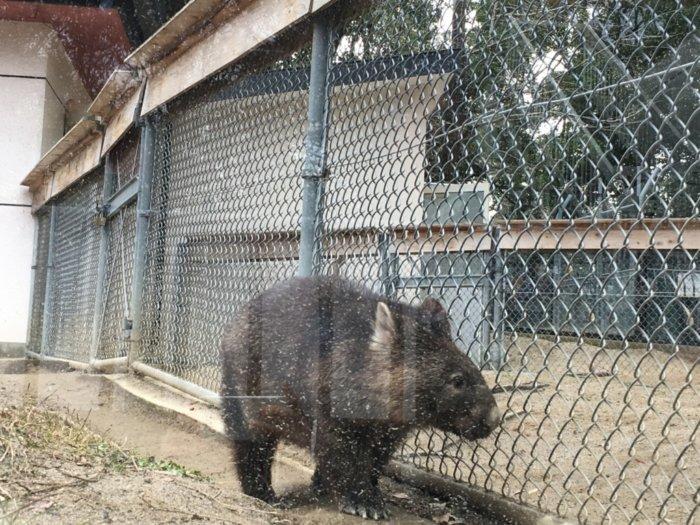 五月山動物園のウォンバット