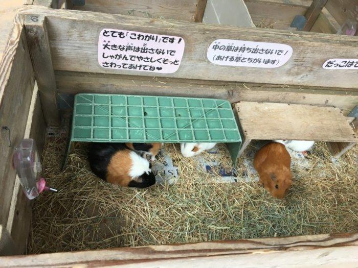五月山動物園のモルモット