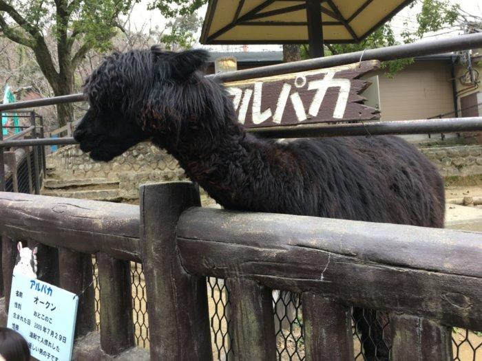 五月山動物園動物のアルパカ