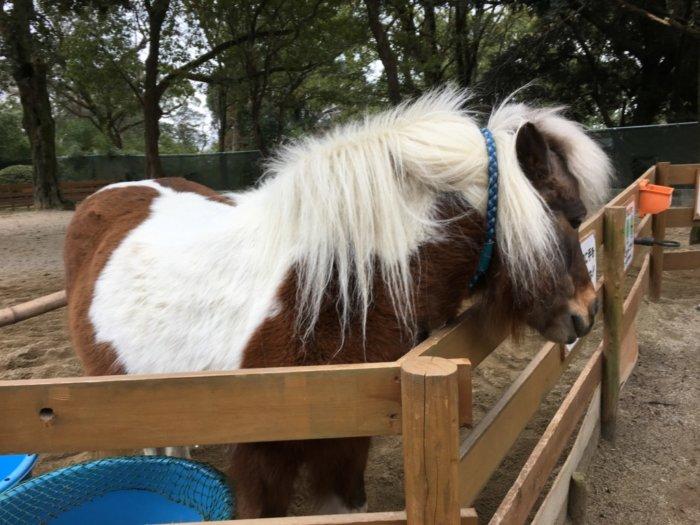 五月山動物園動物ポニーの引馬体験