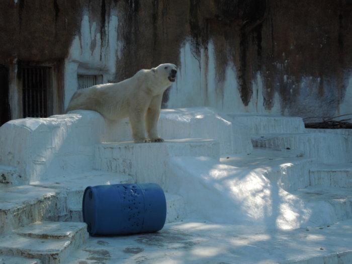 天王寺動物園の動物シロクマ