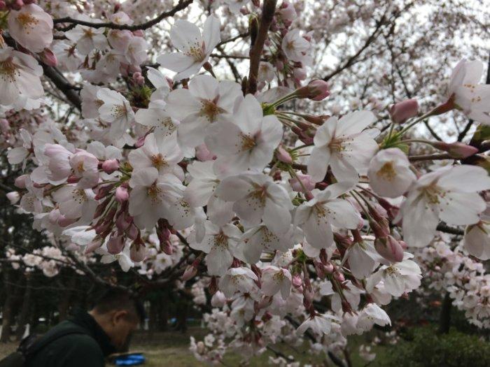 大阪城公園桜お花見