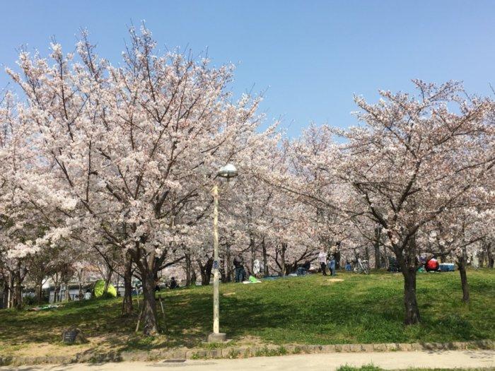 毛馬桜ノ宮公園、児童遊技場のお花見ができる芝生