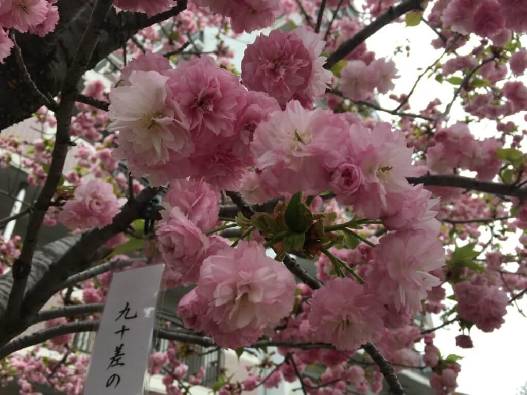 造幣局の桜