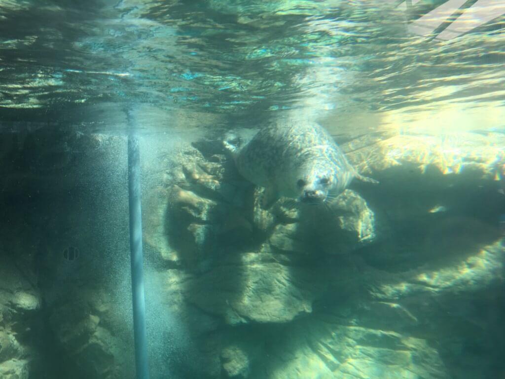 京都水族館のアザラシ