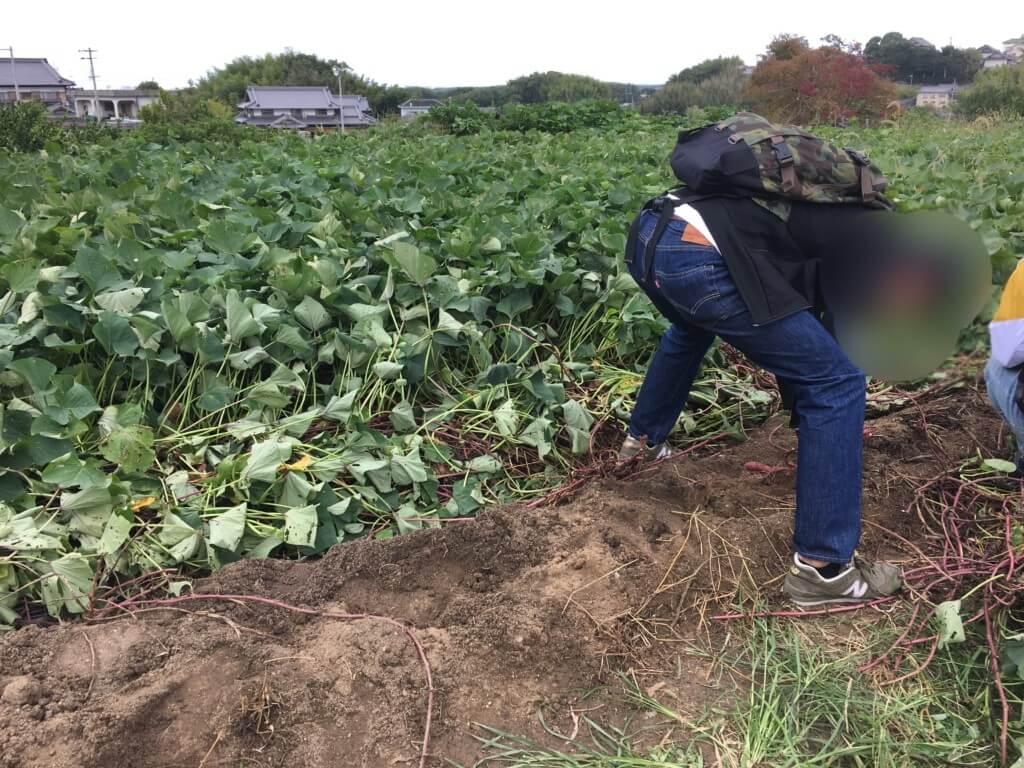 やぶ果樹園のさつま芋掘り