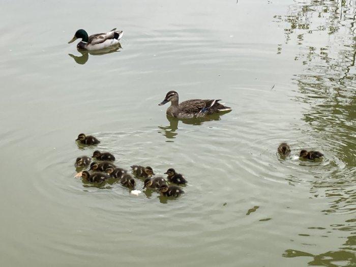 城北公園の池にいる鴨の親子