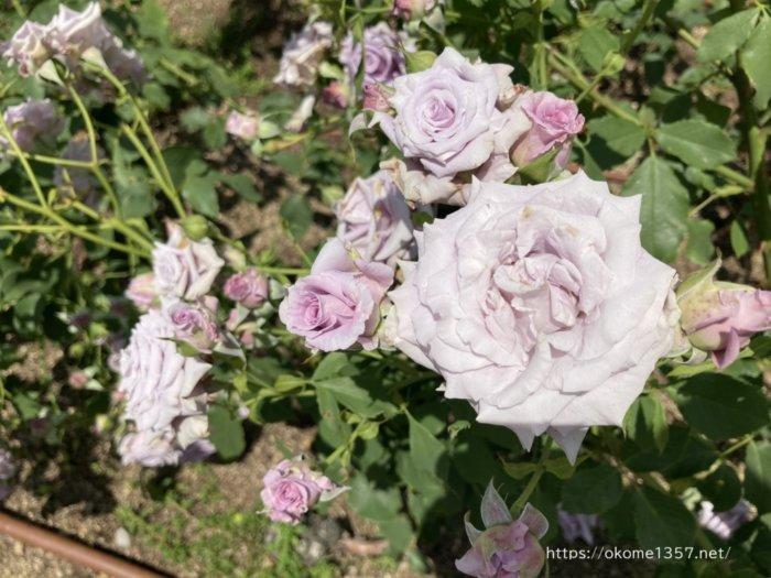 中之島バラ園のバラ